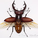 Giant Stag Beetle - Photo (c) Ted MacRae, some rights reserved (CC BY-NC-ND)