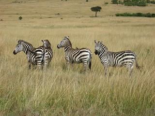 Four Plains Zebras and an Oxpecker
