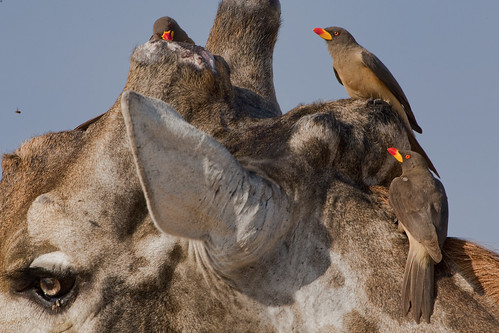 Red-billed Oxpeckers on a Giraffe