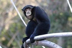 animal, monkey, zoo, mammal, fauna, new world monkey,