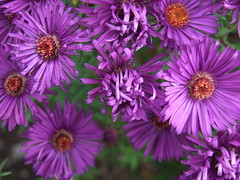 SYMPHYOTRICHUM novae-angliae 'Helen Picton'