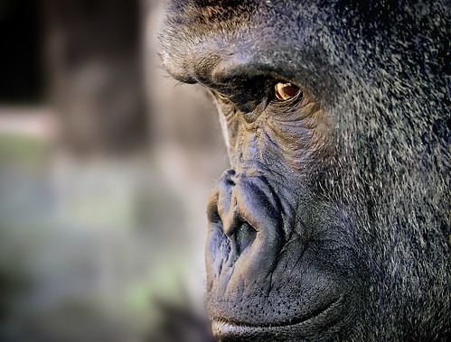 Gorilla deep in thought.
