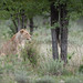 Etosha lioness