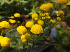 annual plant, flower, yellow, plant, nature, tanacetum parthenium, daisy, macro photography, flora, common tansy, tansy, meadow, daisy,