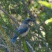 Scrub Jay at 500mm