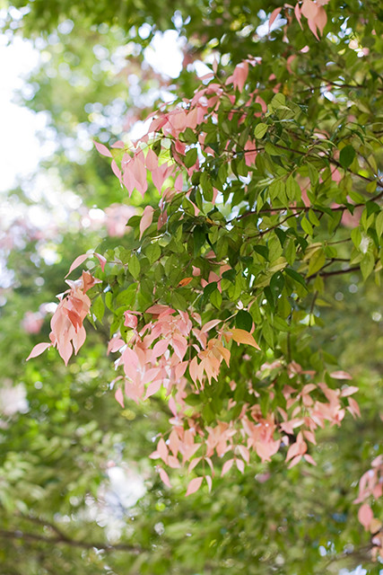 Top 28 pink leaf tree ornamental trees pink leaves - Decorative trees with red leaves amazing contrasts ...