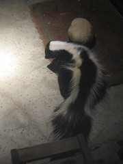 giant panda(0.0), skunk(1.0), animal(1.0), pet(1.0),