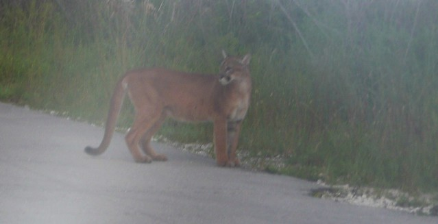 Florida panther at the edge of the road
