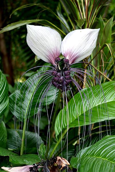 bat plant | Flickr - Photo Sharing!