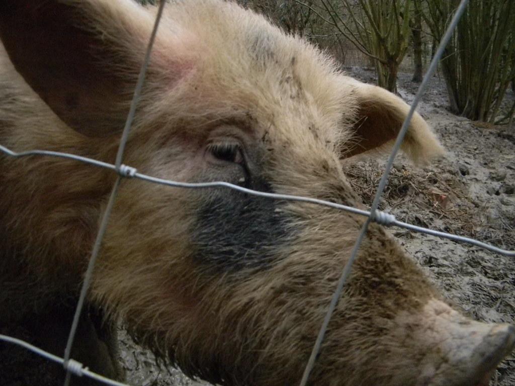 Pig Penshurst Circular