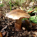 Small photo of The Blusher. Amanita rubescens