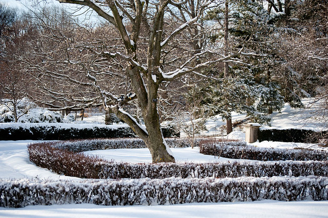 Trees and box hedges at Brooklyn Botanic Garden in winter snow