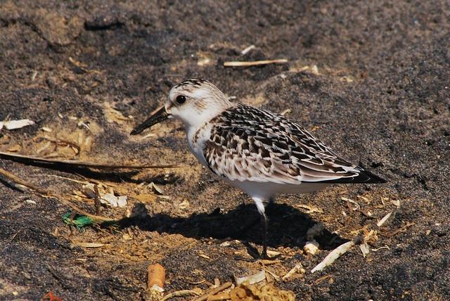 Juvenile Sanderling
