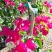 Bougainvillea hybrida 'Barbara Karst' v 4