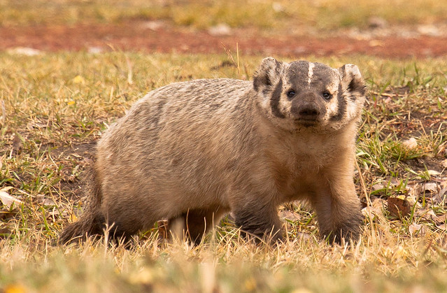 coyote and american badger relationship