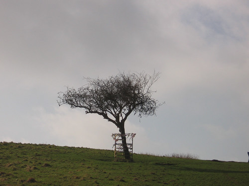 Holy Thorn on Wearyall Hill by jackiesjottings
