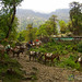 Mule Trains Along the Annapurna Circuit, Nepal