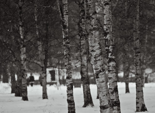 Enter the world of the birches