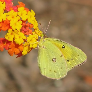 12 Days of Christmas Butterflies - #7 Orange Sulphur
