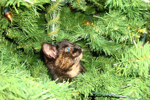 Kayto climbs the christmas tree1