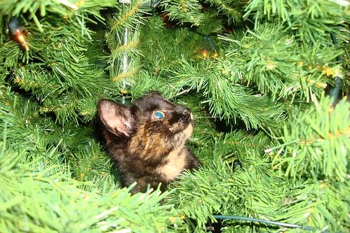 Kayto climbs the christmas tree1