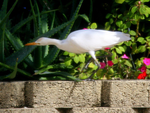 Cattle Egret 2-20101222