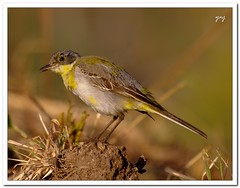 Gray Wagtail (my first REAL birding shot!)