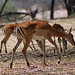 Small photo of Impala: Aepyceros melampus