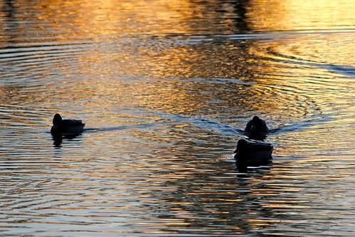 sunset lake bird water birds silhouette duck wildlife ducks ankor mallard vatten anka arvika värmland solnedgång gräsand fåglar sjö fågel änder