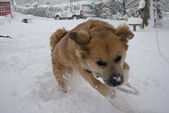 animal, dog, hokkaido, winter, shiba inu, snow, pet, mammal,
