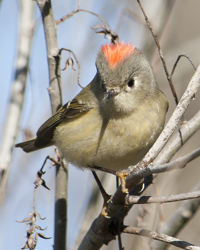 Ruby-crowned Kinglet-flashing