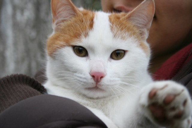 white and orange tabby cat | Flickr - Photo Sharing!