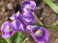 IRIS 'Broadleigh Penny'