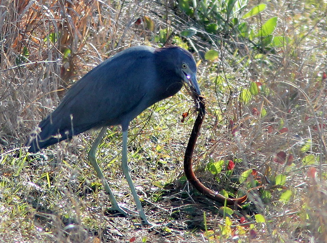 Little Blue Heron with siren 20110130