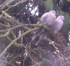 Collared dove pair by Silly_squirrel