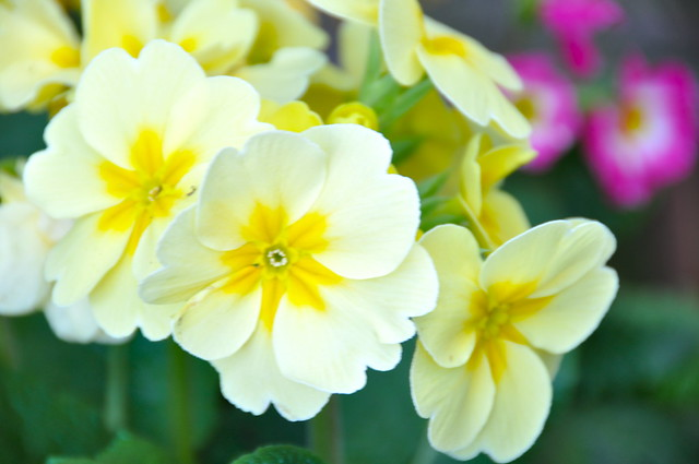 White African Violets | Flickr - Photo Sharing!