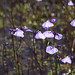 Utricularia dichotoma - Photo (c) Nuytsia@Tas, some rights reserved (CC BY-NC-SA)