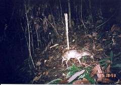 Greater Mouse-deer