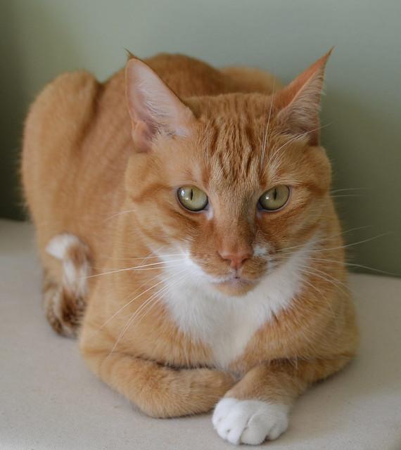 Orange and White Tabby cat - Leo | Flickr - Photo Sharing!
