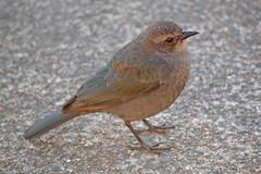 robin(0.0), sparrow(0.0), european robin(0.0), cinclidae(0.0), finch(0.0), junco(0.0), brambling(0.0), blackbird(0.0), lark(0.0), wren(1.0), nightingale(1.0), animal(1.0), ortolan bunting(1.0), perching bird(1.0), fauna(1.0), emberizidae(1.0), beak(1.0), bird(1.0), wildlife(1.0),
