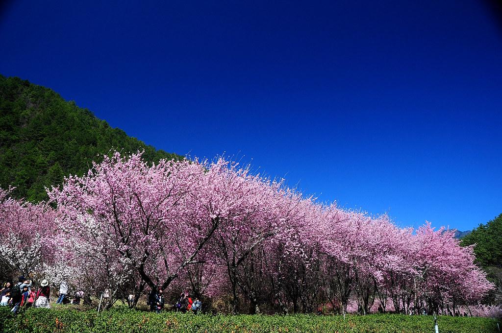 2011.02.27 武陵農場櫻花
