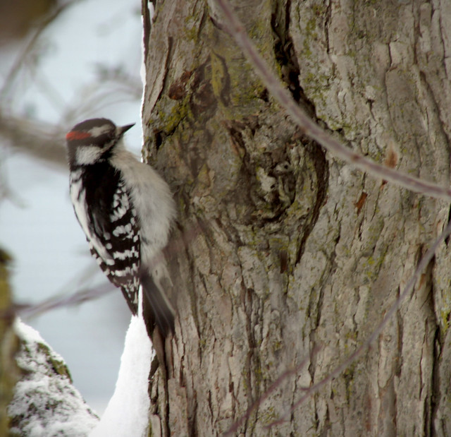 how to stop a woodpecker from pecking a tree