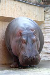 Hippopotamus - 07