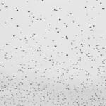 The Birds (4)