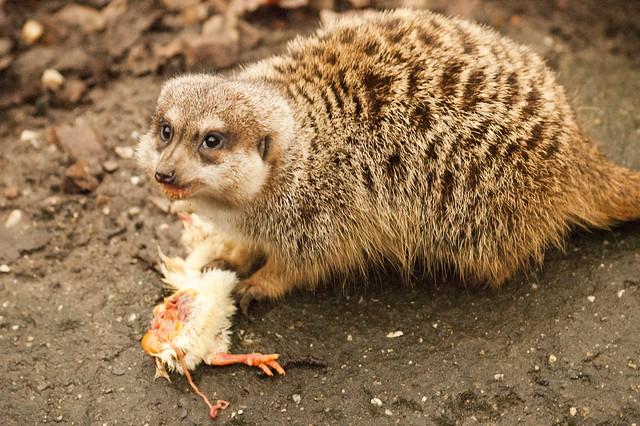 Meerkat eating snake - photo#23