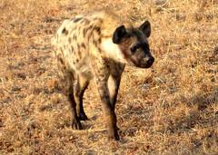 South Africa. Safari. Hyena