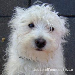 Mon, Jan 17th, 2011 Found Female Dog - Drumcondra, Dublin 9