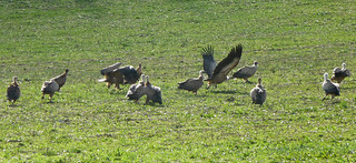 Griffon Vultures around a sheep carcase
