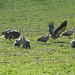 Small photo of Griffon Vultures around a sheep carcase