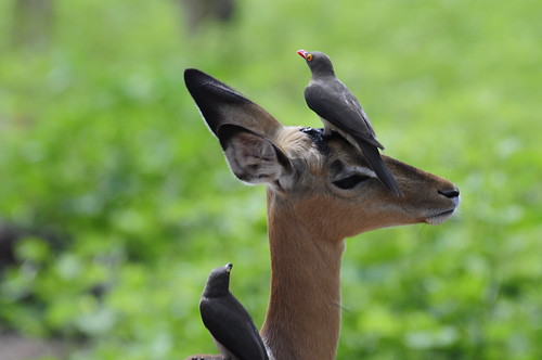 Red Billed Oxpeckers